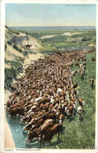 Rounding-up-a-herd-animals-cows-cattle-26042