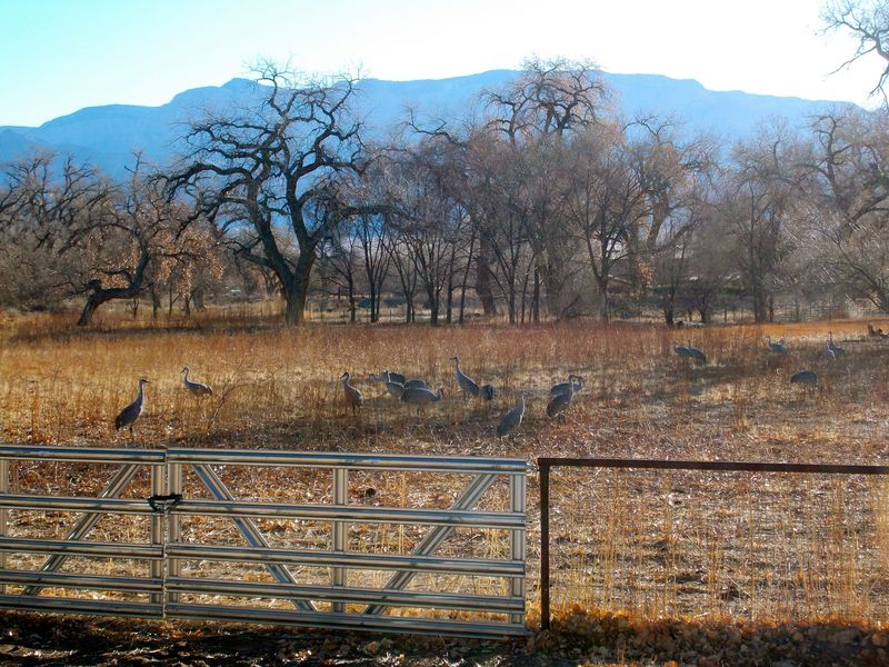 Cranes on weed ranch