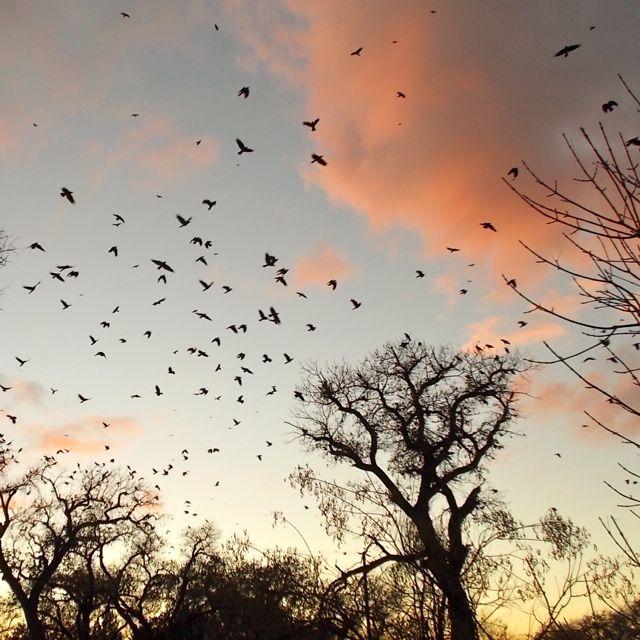 Alameda crows