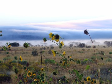 Fog_sunflower_2