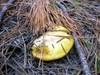 Shroom_yellow_1