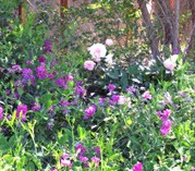 Sweetpeas_and_peonies_on_the_ditch
